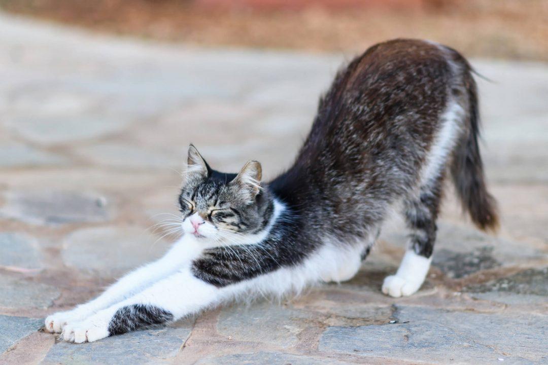 Kıbrıs Kedisi